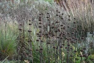Phomis seedheads against grasses