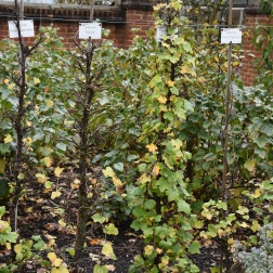 Red currant on left, white currant to right