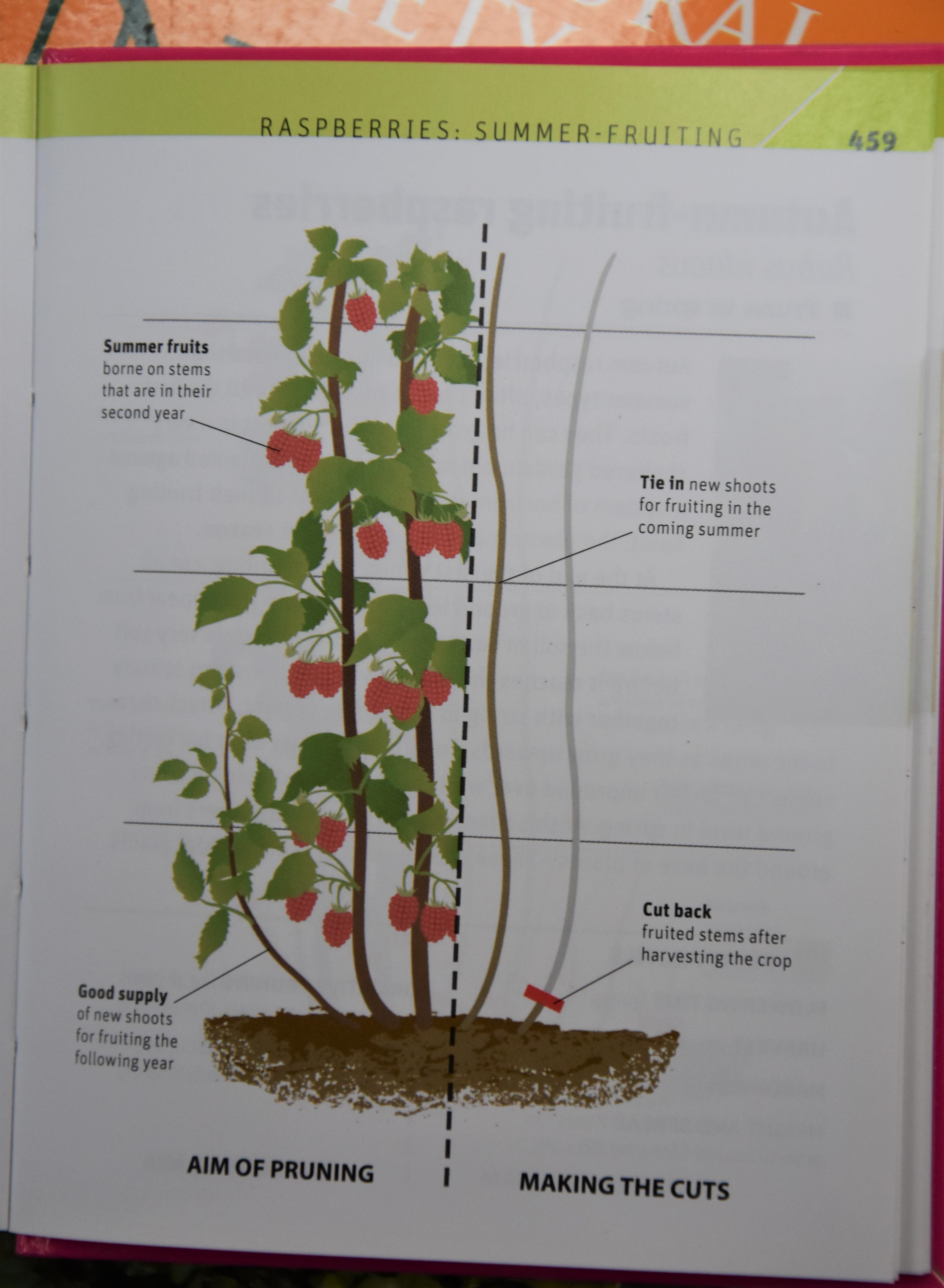 How to plant autumn raspberries, currants, gooseberries 19