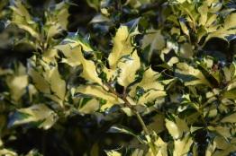 Ilex aquifolium Golden Milkboy