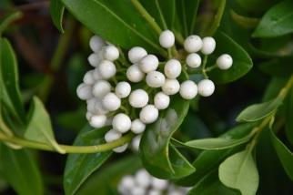 Skimmia japonica Wakehurst White