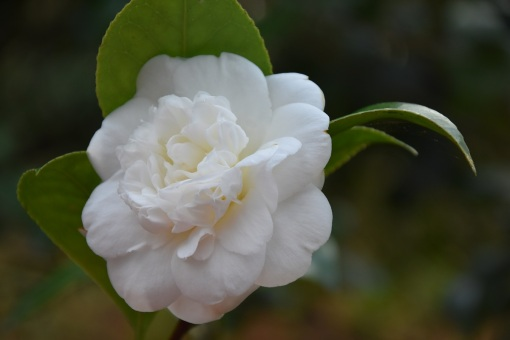 Camellia japonica Josphine Hearn