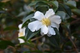 Camellia sasanqua Kenkyo