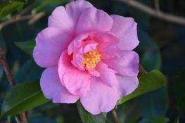 Camellia Showgirl