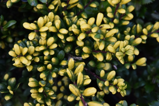 Ilex crenata Golden Tips