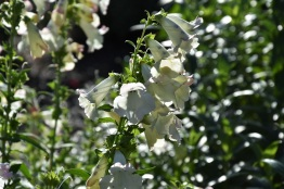 Penstemon Phoenix Apple Blossom