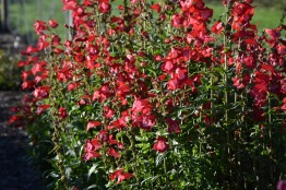 Penstemon Sweet Cherry