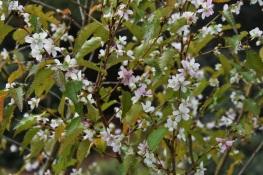 Prunus incisa Abundance