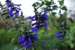 Salvia guaranitica Argentina Skies