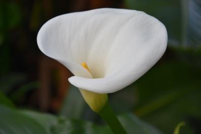 Zantedeschia aetheopica