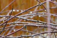 Rubus biflorus