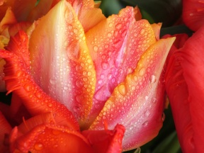 Tulip Hermitage - bulb planting of -