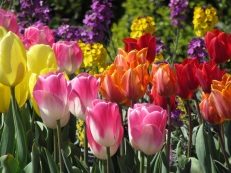 Tulips to be planted