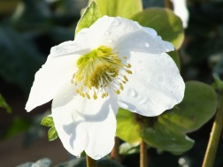 Hellebore Gold Collection Joel