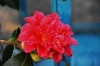 Camellia Volcanoe