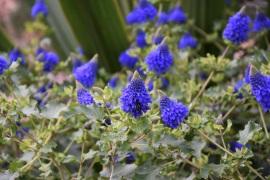 Pycnostachy surticifolia