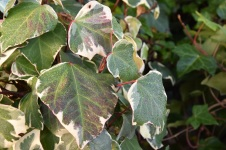 Hedera algeriensis Glore de Marengo