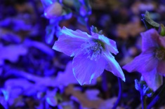 Hellebore Walburton's Rosemary with UV