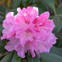 Rhododedrum Nobleanum Venustum