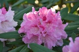 Rhododendrum Nobleanum Venustum
