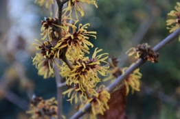Hamamelis x intermedia Harry