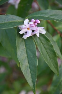 Daphne blolua Limpsfield