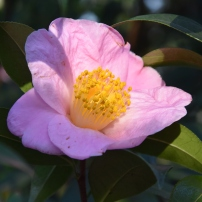 Camellia pittardii var yunnanica
