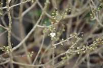 Daphne mezereum f alba Bowles Variety