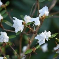 Rhododedrom dauricum Hokkaido