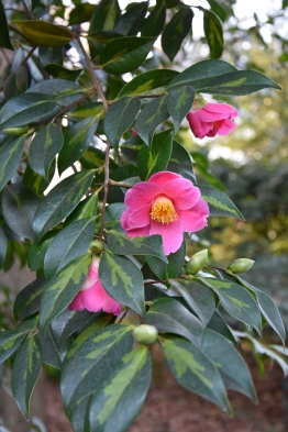 Camellia x williamsii Golden Spangles
