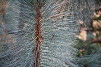 Pinus montezumae Sheffield Park