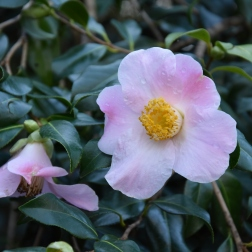 Camellia x williamsii JC Williams