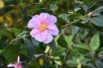 Camellia Show Girl