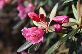 Rhododendron yakushimanum x griersonianum
