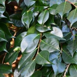 Camellia leaf