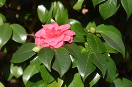 Camellia japonica Josephine Hearne