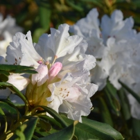Rhododendron nobleanum album