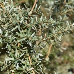 Leptospermum mytifolium Silver Sheen