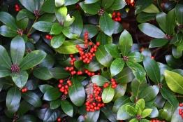 Skimmia japonica Highgrove ....