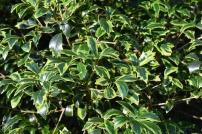 Osmanthus heterphyllus Aureaomarginatus