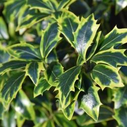 Osmanthus heterophyllus Aureomarginatus