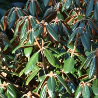 Rhododendrum lanatum x R yakushimanum