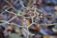 Hamamelis vernalis purple seedling No. 1 Brotzman