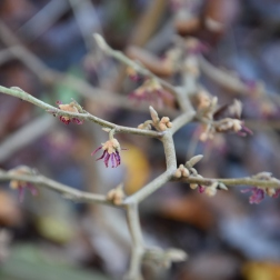 Hamamelis vernalis purple seedling No. 1 Brotzman