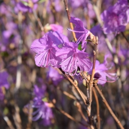 Rhododendron dauricum Mid-Winter
