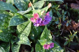 A very early Pulmonaria