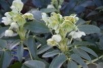 Hellebore argutifolia