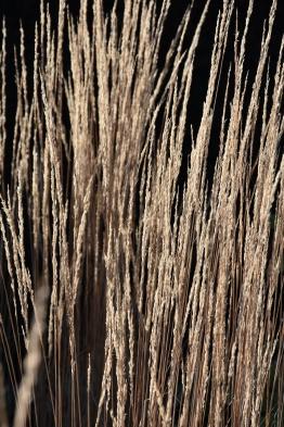 Calamagrostis x acutiflora Overdam