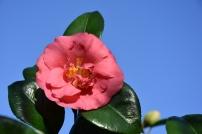 Camellia Gloire de Nantes