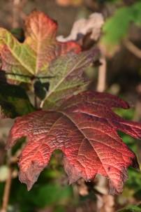 Hydrangea quercifolia Flemigea